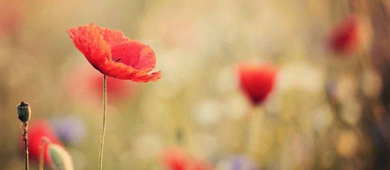 Overcoming Perfectionism poppy flower